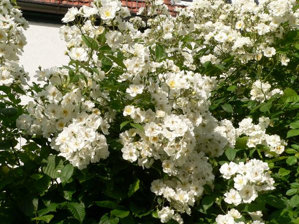 Klettergerüst Rosen : Gartenberatung